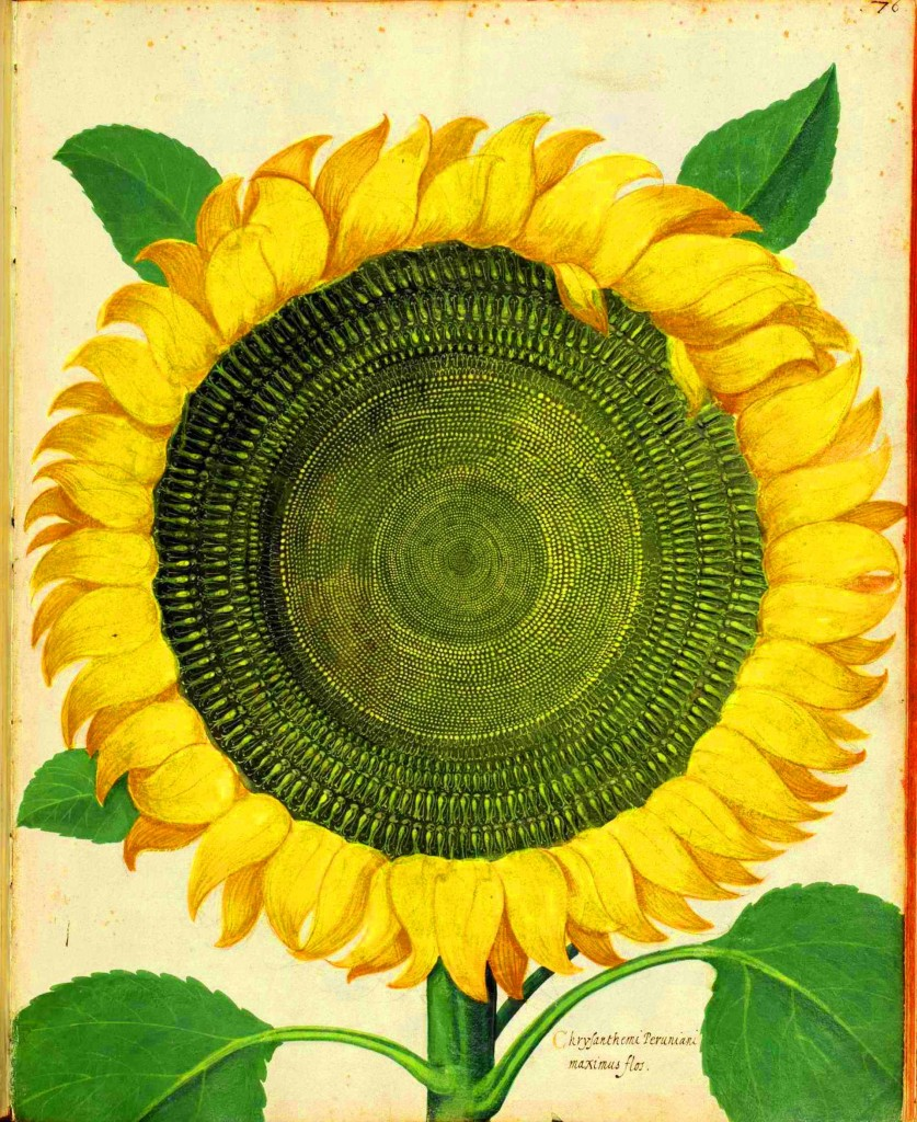 Botanical-Flower-Sunflower-Italian-2-837x1024