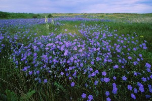 linen_history_img_1_blue_flowering_flax